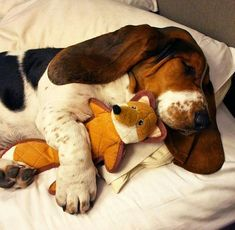 10 Realities That New Basset Hound Owners Must Accept Basset Hound Rescue, Basset Puppies, Hound Puppies, Beagle Puppy, Cute Puppies, Cute Dogs, Beagles, Chien Basset, Pet Paws