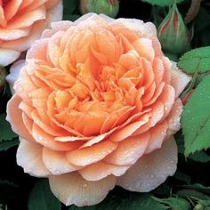 'GRACE' David Austin rose with apricot, double/full bloom; 4x4 branching shrub; hardy; strong, warm and sensuous fragrance; excellent repeating. Excellent all round variety with very beautiful pure apricot blooms.