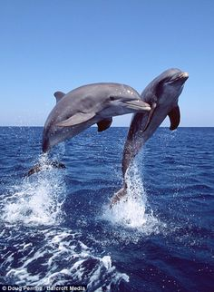 Jumping for joy: Dolphins who don't stop playing even when the sun goes down | Mail Online