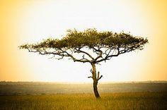 Acacia, Masai Mara, Kenya