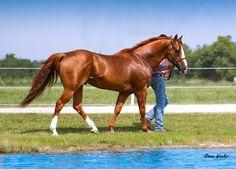 American Quarter Horse                                                                                                                                                                                 More