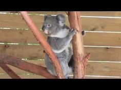 Koalas have a jumping competition - YouTube