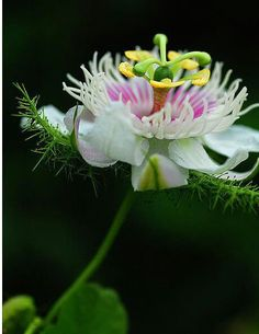Passion Flower ♡ I'm thinking a type of foam for the 'tentacles'