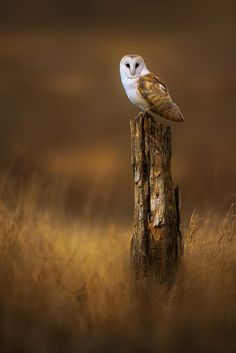 This owl perching on a tree stump or fence post looks awesome.