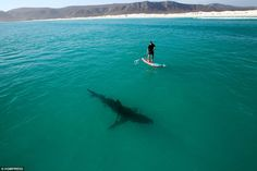 Someone's got company: Chris Fallows is known for his documentaries and photography of sharks in their habitat