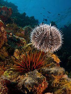 Sea Urchins - Tripneustes ventricosus and Echinometra viridis, two species of tropical sea urchins.. - Tripneustes ventricosus (West Indian Sea Egg-top) and Echinometra viridis (Reef Urchin - bottom).jpg