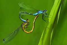 """Damselflies, Confederation Park, Calgary, Canada. """"I saw these damselflies and quietly followed the mating couple in flight and waited for them to get tired and land. My persistence paid off when I got this perfect heart-shaped composition."""" -- Photographer Minghui Chen"""