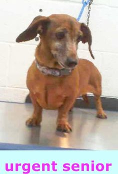 SAFE --- VIENA (A1688533) I am a female tan Dachshund.  The shelter staff think I am about 7 years old and I weigh 12 pounds.  I was found as a stray and I may be available for adoption on 04/03/2015. — Miami Dade County Animal Services. https://www.facebook.com/urgentdogsofmiami/photos/pb.191859757515102.-2207520000.1427665636./952616051439465/?type=3&theater