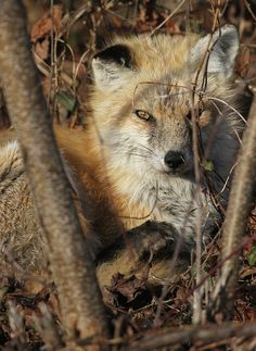 Red Fox by rivadock4