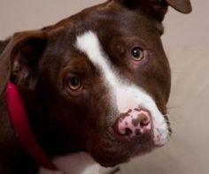Quinn is an adoptable American Staffordshire Terrier Dog in Douglasville, GA. Quinn is approximately 1year old staffy/pit bull mix. Quinn is house trained and crate trained. He is a higher energy dog ...