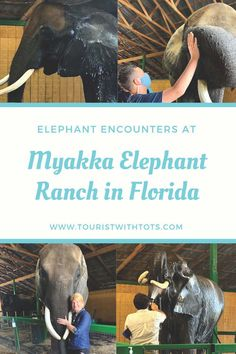 The Myakka Elephant Ranch located just outside of Bradenton, Florida was a dream come true offering an elephant experience like none other. Keep reading to find out about our epic visit