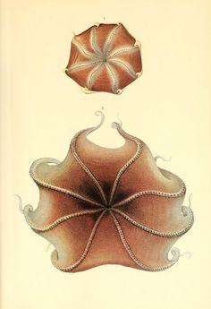 Dessins et illustrations de céphalopodes dessin illustration poulpe cephalopode 10 bonus