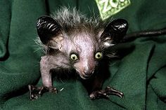 """aye aye....a rodent like lemur from madagascar....i wonder if this is what Ozzy was talking about in """"crazy train"""""""