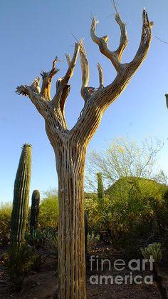 Title  Saguaro Skeleton   Artist  Chandra Nyleen   Medium  Photograph - Photograph