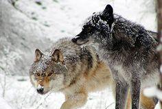 Northern Lights Wolf Center, Golden, British Columbia