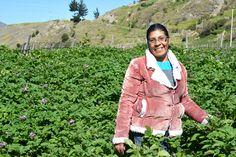 Productora de papas negras, Mucuchies, Merida, Venezuela.