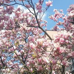 #spring #magnolia #flowers #tree #amazing #beautiful #perfecthome