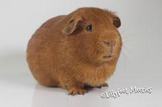 Louis, Glatthaar Meerschweinchen in Gold, dark eyes. :o))