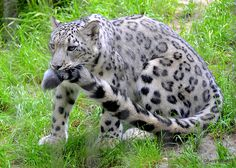 Snow leopard and tail.