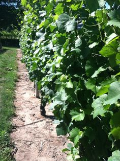 The vines beginning to fill in...