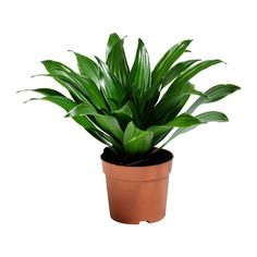 DRACAENA JANET CRAIG Plante en pot - IKEA_BATHROOM