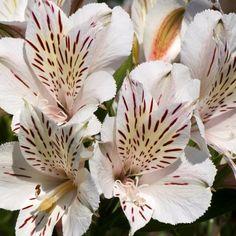 Alstroemère: planter et entretenir – Ooreka Fleur Orange, Plantation, Plants, Gardens, Yellow Flowers, Plant, Planets