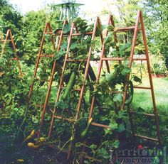 Cucumber & Large Vine Plant Support. This is the plan for the cucumbers in the backyard.. I am currently looking for old wooden ladders for this idea:)