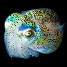 The strobing cuttlefish. More intelligent than cats.