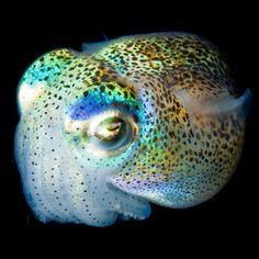 Cuttlefish Luminous creatures: Glowing deep sea creatures photographed by Joshua Lambus - Telegraph Underwater Creatures, Underwater Life, Fauna Marina, Deep Sea Creatures, Sombre, Deep Sea Fishing, Deep Blue Sea, Sea World, Ocean Life