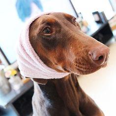 . ひょっとこさん😗😗 . . Wi-Fiの調子が悪いのか いくつかのアプリが誤作動起きてる🌀 まったくも〜(´ºωº`) . . 今日は朝から腹痛あるので のんびりします๛(๑•́ו̀๑) . .#ロミガウ #style  #doberman #dobermann #dog #dogs #dogstragram #doglover #doglife #family #baby #fashion #puppydog #happy #good #like4like #f4f #poto  #🐶 #ドーベルマン #大型犬  #愛犬 #大型犬のいる暮らし #ワンコ #パピー #仲良し #犬と暮らす #一眼レフ #ひょっとこ #マタニティライフ