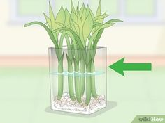 How to Propagate Lucky Bamboo. Lucky bamboo is a popular houseplant that people love to give as a housewarming gift. Despite the name, lucky bamboo isn't really bamboo, and is instead a species of Dracaena. Bamboo Plant Care, Snake Plant Care, Lucky Bamboo Plants, Bamboo Tree, How To Grow Bamboo, Growing Bamboo, Bamboo Image, Lucky Plant, Bamboo Stalks