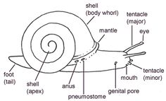 anatomy of snail Teaching From Rest, Animal Body Parts, Carnegie Museum, Animal Habitats, Tentacle, Read Aloud, Natural History, Biology, Worksheets