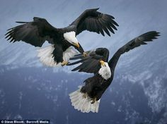 eagles in the wilderness | Fight to the death: Bald eagles attack one another in mid-air over the ...