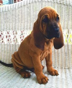 Bloodhound puppy :) We're getting this puppy in two monthscan't wait! - AWW - - Bloodhound puppy We're getting this puppy in two monthscan't wait! The post Bloodhound puppy :) We're getting this puppy in two monthscan't wait! appeared first on Gag Dad. The Bloodhound Gang, Bloodhound Puppies, Beagles, Cute Puppies, Cute Dogs, Dogs And Puppies, Doggies, Hound Dog Puppies, Hound Dog Breeds