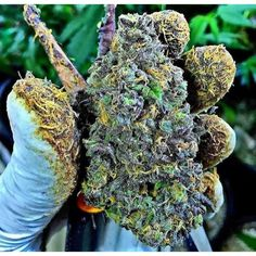 Check this out! Awesome! www.thectu.com  Premier cannabis training destination. Leading cannabis college. Best marijuana school. All the thc university information you need is at Cannabis Training University. Get CTU certified and start a cannabis career. Get your cannabis training online at the leading cannabis college, CTU!