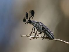 featherhorned beetle - Google Search