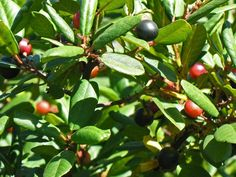 Frangula californica   Rhamnus californica   California Coffeeberry   California Buckthorn  plant lust