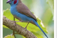 Red Cheeks, Birds Online, Cordon Bleu, Parakeet, Blue Jay, Exotic, Watch, Animals, Beautiful