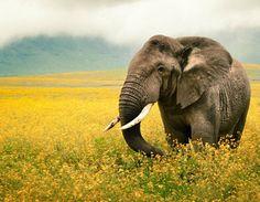 Elephant in a field of yellow flowers. [photo: Daniel Blisborough]