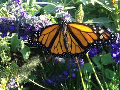 Part Two: More Tips for Raising Monarch Caterpillars and Butterflies at Home – texasbutterflyranch Stages Of A Butterfly, Green Butterfly, Monarch Butterfly, Milkweed Plant, Monarch Caterpillar, Flying Flowers, Avocado Tree, Butterfly Wallpaper, Animal Fashion