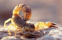 Sand ground, Sahara fat tail scorpion,Androctonus australis, attack position,Wildlife, animal, arachnid, scorpion, night-actively, venomously, mortally, dangerously, poison thorn, attack, defense, Drohgebärde,