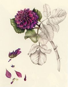 BOTANICAL DRAWING DEMO by WENDY HOLLENDER