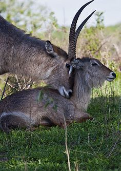 Waterbuck Love in South Africa - Sabie