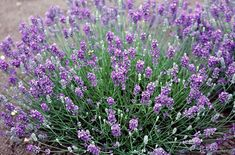 "English lavender ""Miss Muffet"" (Miss Muffet is a dwarf evergreen shrub to 30cm, with narrow, grey-green leaves and violet-blue flowers in mid and late summer)"