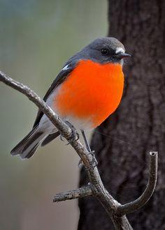 Flame Robin, male
