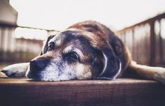 """""""…and my spot on the porch.""""   19 Faces That Prove Old Dogs Are The Wisest Creatures On Earth"""