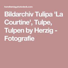 Bildarchiv Tulipa 'La Courtine', Tulpe, Tulpen by Herzig - Fotografie