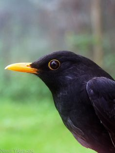 "envyb: ""Old male common blackbird (Turdus merula) "" A selection of bird photos Small Birds, Little Birds, Pet Birds, Birds 2, Serval, British Wildlife, Australian Birds, Wild Creatures, Bird Pictures"