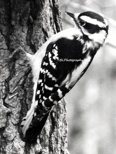 Woodpecker at Work Fine Art Photography 5 x by TheFancifulGardener on #etsy