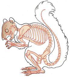 squirrel skeleton diagram - Google Search